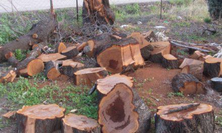 Σφαγή δέντρων στη Φασούλα Πάφου