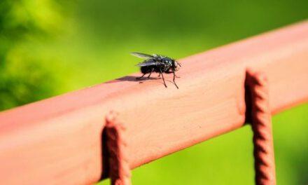 Αφόρητη η κατάσταση με τις μύγες στην Άχνα