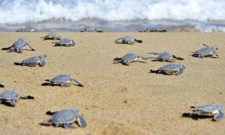 Με τις «ευλογίες» του Τμήματος Δασών και του ΤΑΘΕ η δημιουργία πλαζ σε παραλίες χελωνών